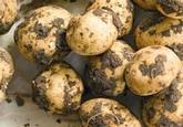 Seed, Potatoes, 1kg