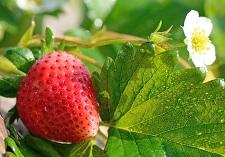 Strawberries Loose