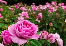 roses, new seasons, patio bush